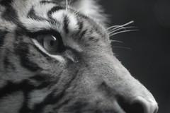 tiger eye bw