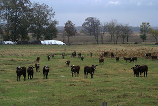Picture of beef cattle standing in a field