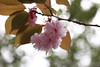 Photo:Cherry blossoms / Sakura / 桜 By TANAKA Juuyoh (田中十洋)
