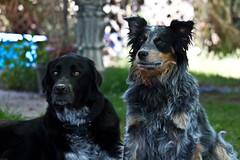 dog breed, animal, dog, pet, blue picardy spaniel, carnivoran,