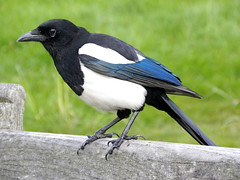animal, perching bird, wing, fauna, beak, eurasian magpie, bird, crow-like bird, wildlife,