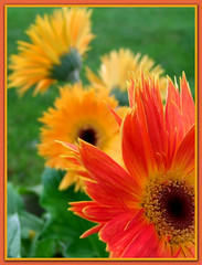 Colors of Gerbera Daisy's