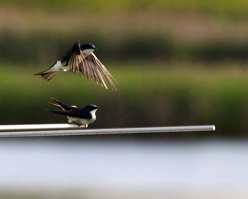 birds birding birdwatching swallows treeswallows tcaap ahats twincitiesarmyammunitionplant mully410 tcaapwva ardenhillsarmytrainingsite twincitiesarmyammunitionplantwildlifeviewingarea