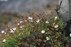 florecicas