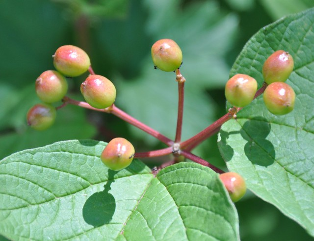 Header of American Cranberry Bush
