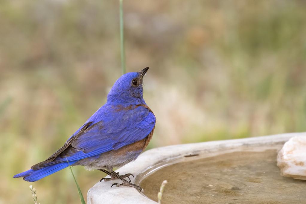 Western-Bluebird-16-7D2-062517