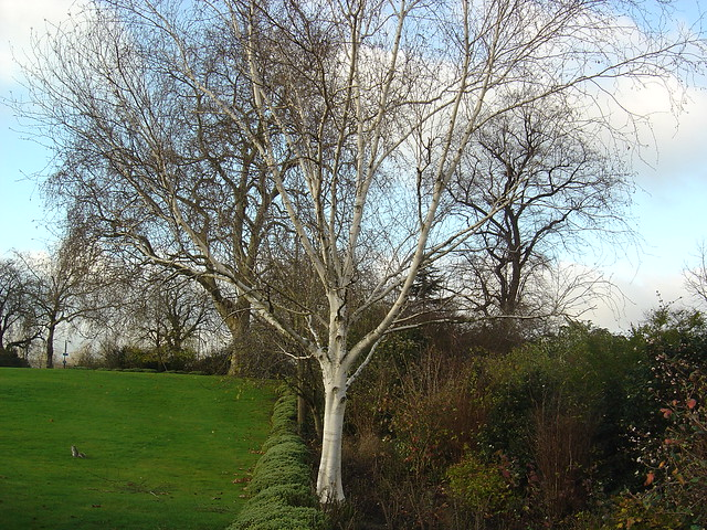 Silver birch tree while we were been told a story about for Silver birch trees for small gardens