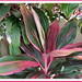 Closeup: Cordyline terminalis or C. fruticosa (pink/maroon/green/white), in the neighbourhood