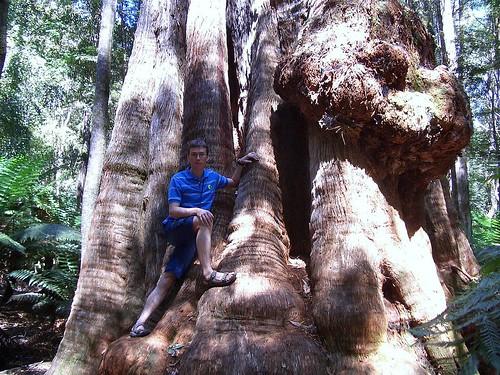 Eucalyptus regnans (Myrtaceae)