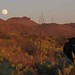 Portrait of a cow - Full moon rising; SE Arizona