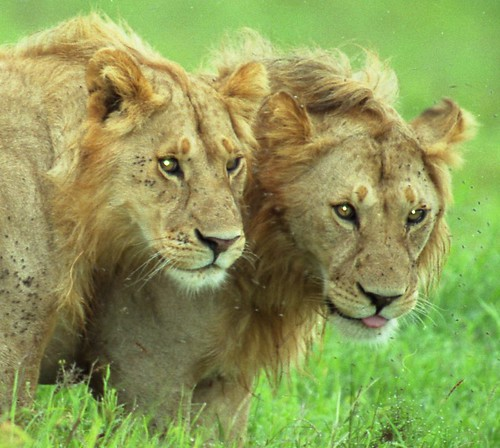Young Brothers on Serengeti