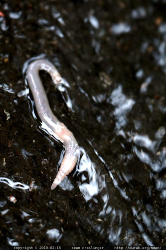 worm being washed down to the storm drain