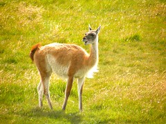 animal, prairie, grass, mammal, llama, grazing, fauna, vicuã±a, guanaco, meadow, pasture, grassland, wildlife,