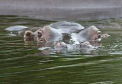 Hippopotamus watching