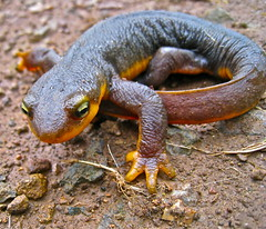 newt(0.0), salamander(0.0), lissotriton(0.0), european fire salamander(0.0), salamandra(0.0), scaled reptile(0.0), smooth newt(1.0), animal(1.0), amphibian(1.0), reptile(1.0), macro photography(1.0), fauna(1.0), close-up(1.0), wildlife(1.0),