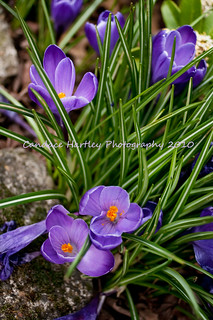Announcing the Arrival of Crocus Season!