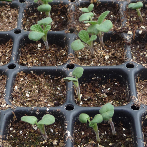 Garden Sage Seedlings Garden Sage Seedlings Flickr