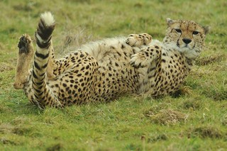 Cheetah Lying on Back