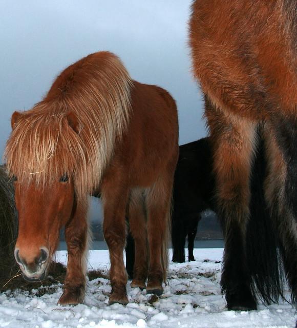 fluffy horses - photo #12