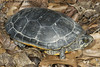 "<a href=""http://www.flickr.com/photos/twpierson/4452187113/"">Photo of Deirochelys reticularia by Todd Pierson</a>"