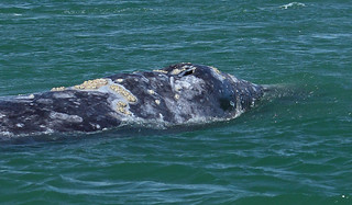 Close-up of Grey Whale Nostrils and Back