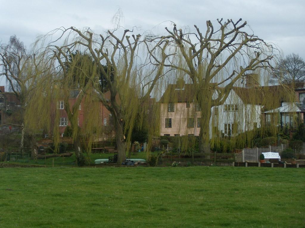 Sudbury These lopped willows looked striking. Bures to Sudbury