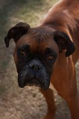 puppy(0.0), dog breed(1.0), animal(1.0), dog(1.0), pet(1.0), carnivoran(1.0), boxer(1.0), bullmastiff(1.0),