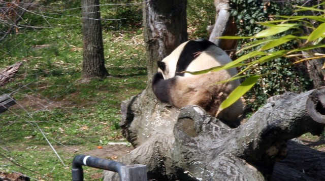 panda giant How anus big is