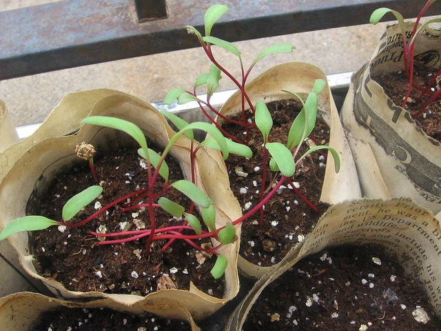 beet sprouts, day 13