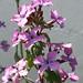 Small photo of Honesty. Lunaria