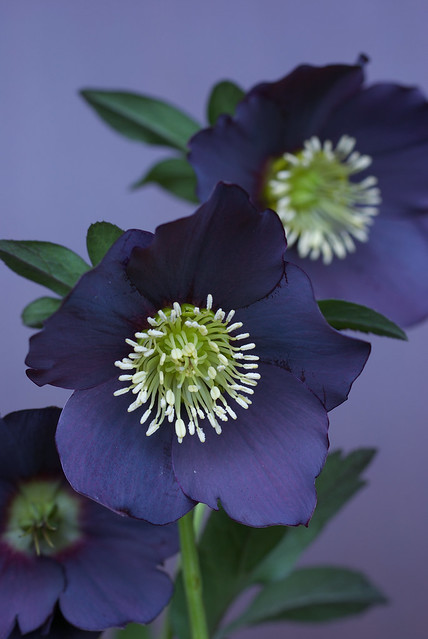 flickriver photoset 39 helleborus 39 by hiro morison. Black Bedroom Furniture Sets. Home Design Ideas