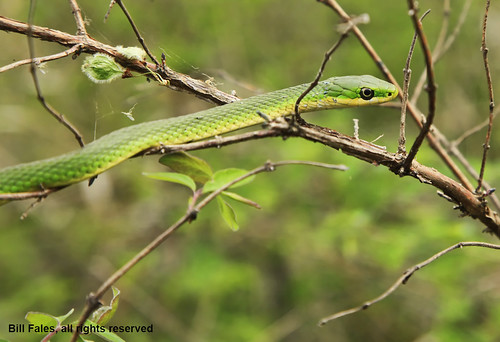 green eye nature canon outdoors spring reptile snake branches scales kansas cpimages