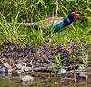 Japanese Green Pheasant By River Bank by aeschylus18917