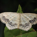 Large Lace Border - Photo (c) kim fleming, some rights reserved (CC BY-NC-SA)
