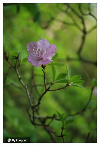 【图】杜鹃花科杜鹃花属迎红杜鹃