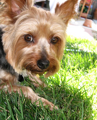 dog breed, animal, dog, pet, australian silky terrier, norfolk terrier, mammal, vulnerable native breeds, biewer terrier, norwich terrier, morkie, australian terrier, yorkshire terrier, terrier,