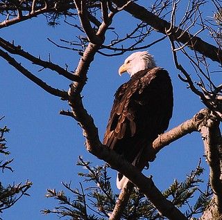 Bald Eagle in a neighbour's tree
