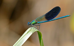 Western Demoiselle (Calopteryx xanthostoma) male
