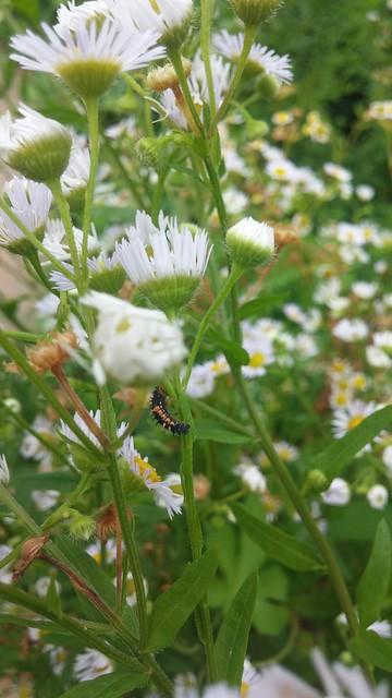 비갠후 동네한바퀴 | 개망초 꽃우산 속 무당벌레 애벌레