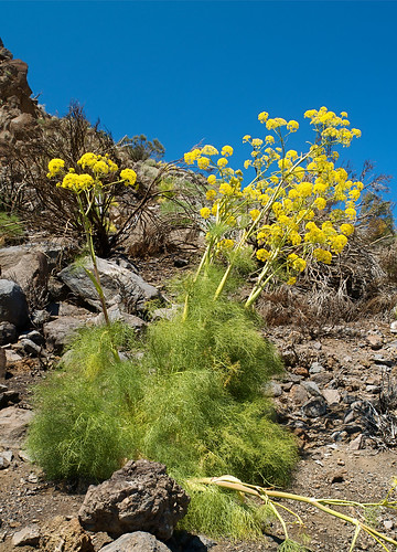 Ferula Plant