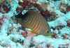 Blacktail angelfish - Similan Islands Thailand