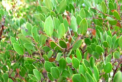 evergreen, shrub, pistacia lentiscus, leaf, tree, plant, arctostaphylos uva-ursi, flora,