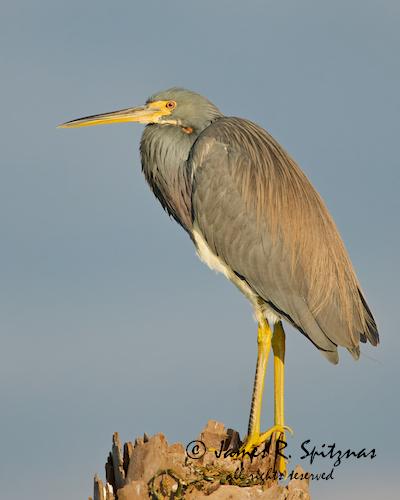 usa bird heron fl tricoloredheron egrettatricolor ardeidae viera ciconiiformes vierawetlands avianexcellence aulux goldfeatherphoto