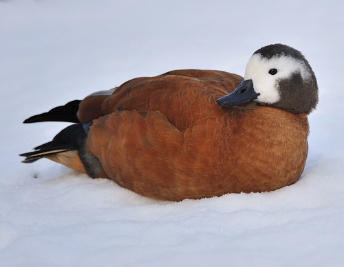 Ruddy Shellduck Reclining In The Snow