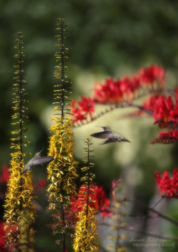 flowers love birds geotagged pair sophie happiness zosia hummingbirds honeysuckle 011202 janusz leszczynski happyvalentinesday abigfave dartshillgarden geo:lat=49031875 geo:lon=122756381