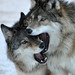 Wolf Brothers by Eve'sNature