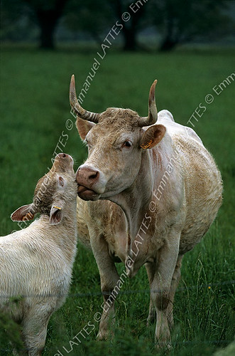 Vache (Bos taurus domesticus) de race Charolaise léchant son petit (Cher (18), France).