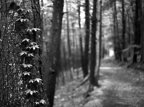 plant tree nature landscape climb path ivy rangefinder future kodaktmax400 forward newmilfordct fujigs645 loversleapstatepark
