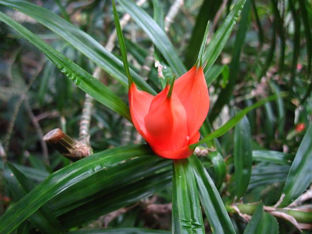 Freycinetia bankskii