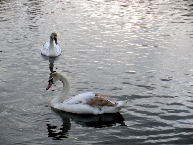 yearling swans.
